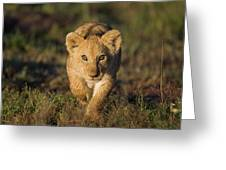 African Lion Panthera Leo Cub, Masai Greeting Card