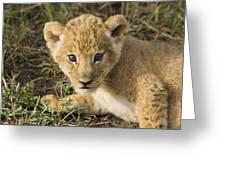 African Lion Panthera Leo Five Week Old Greeting Card