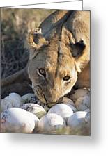 African Lion Panthera Leo Raiding Greeting Card