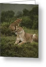 African Lionesses In Masai Mara Greeting Card