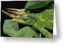 African Male Jacksons Chameleon Greeting Card