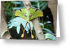 African Moon Moth 1 Greeting Card