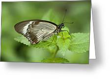 African Papilio Dardanus Butterfly Greeting Card