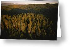 Afternoon Sunlight Bathes Redwood Trees Greeting Card