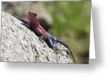 Agama Lizard Greeting Card