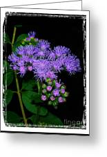 Ageratum Greeting Card