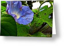 Aging Morning Glory Greeting Card