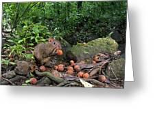 Agouti Dasyprocta Punctata Feeding Greeting Card