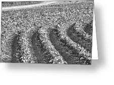 Agriculture- Soybeans 4 Greeting Card