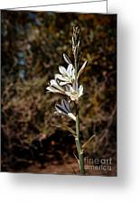 Ajo Lily Greeting Card