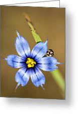 Alabama Blue-eyed Grass Wildflower - Sisyrinchium Angustifolium Greeting Card