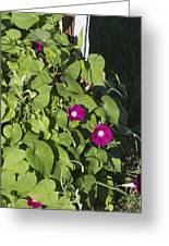 Alabama Wild Pink Morning Glories Greeting Card
