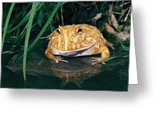 Albino Horned Frog Greeting Card