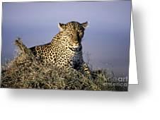 Alert Female Leopard Greeting Card