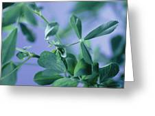 Alfalfa (medicago Sativa) Greeting Card