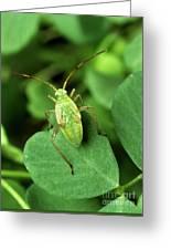 Alfalfa Plant Bug Greeting Card