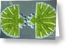 Algae Binary Fission Greeting Card by M. I. Walker