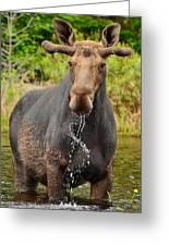 Algonquin Bull Greeting Card