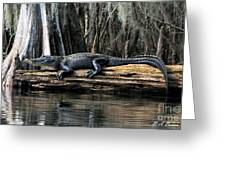 Alligator Sunning Greeting Card