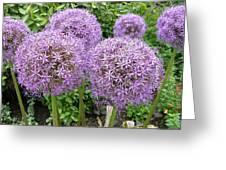 Allium Flower (allium Sp.) Greeting Card