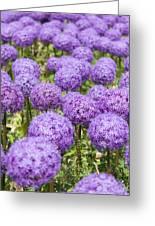 Allium Flower At The Boston Common Greeting Card