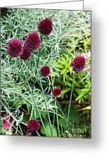 Allium Sphaerocephalum Flowers Greeting Card