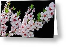 Almond Blossom 0979 Greeting Card