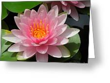 Almost Two Pink Water Lilies Greeting Card