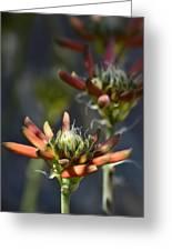 Aloe Vera Blossoms  Greeting Card