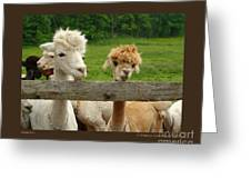 Alpacas-i Greeting Card