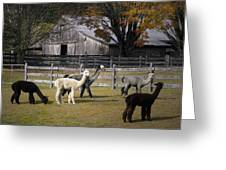 Alpacas In Vermont Greeting Card