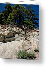 Alpine Pine Hangs On For Life Greeting Card