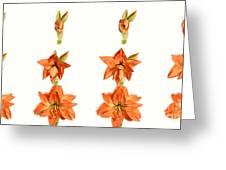 Amaryllis Blooming Greeting Card