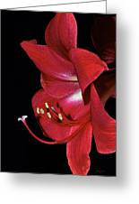Amaryllis Flower Side View  Greeting Card