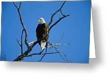 American Bald Eagle Haliaeetus Greeting Card