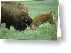 American Bison Cow And Calf Greeting Card