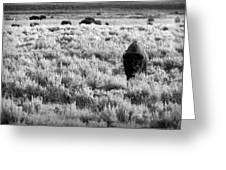 American Bison In Black And White Greeting Card by Sebastian Musial