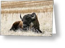American Bison Greeting Card