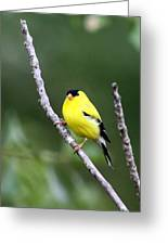 American Goldfinch - Single Male Greeting Card