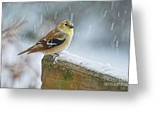 American Goldfinch - Spinus Tristis Greeting Card