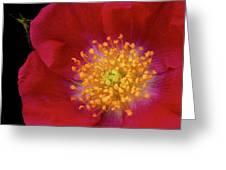 American Pillar Climbing Rose Greeting Card