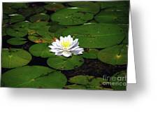 American White Waterlily Greeting Card