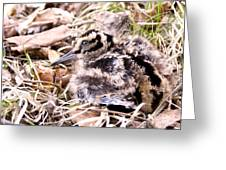 American Woodcock Chick Greeting Card