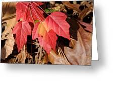 Amur Maple Seedling Greeting Card