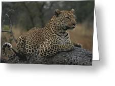 An Alert Leopard Rests On A Fallen Tree Greeting Card