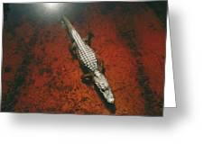 An Alligator Walks On The Muddy Bottom Greeting Card