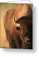 An American Bison In The Early Morning Greeting Card