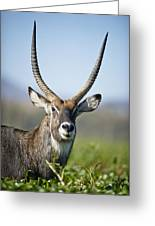 An Antelope Standing Amongst Tall Greeting Card