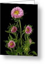 An Aster Flower Aster Ericoides Greeting Card