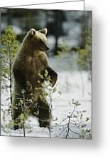 An Brown Bear Ursus Arctos Runs Greeting Card